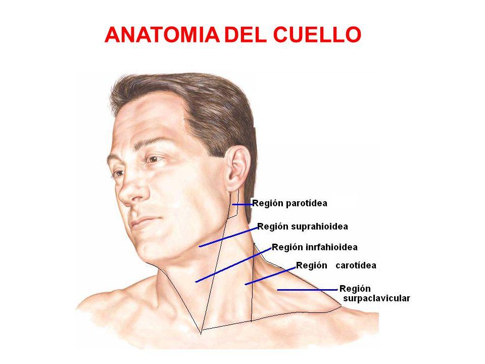 Lujoso Anatomía Región Parótida Elaboración - Anatomía de Las ...