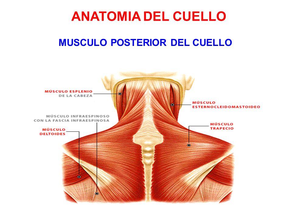 Bonito La Anatomía Del Músculo Posterior Del Cuello Viñeta ...