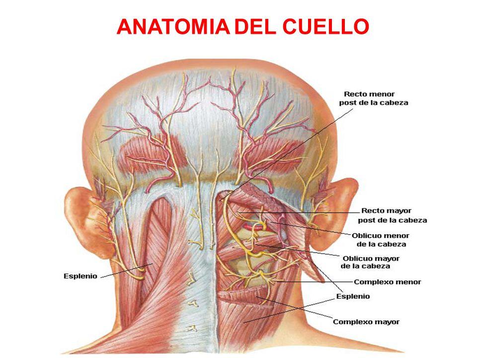 Único Cabeza Y La Anatomía Del Cuello Opinión Inspiración - Anatomía ...