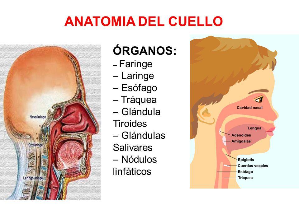 Fantástico Tráquea Y El Esófago Anatomía Imágenes - Anatomía de Las ...