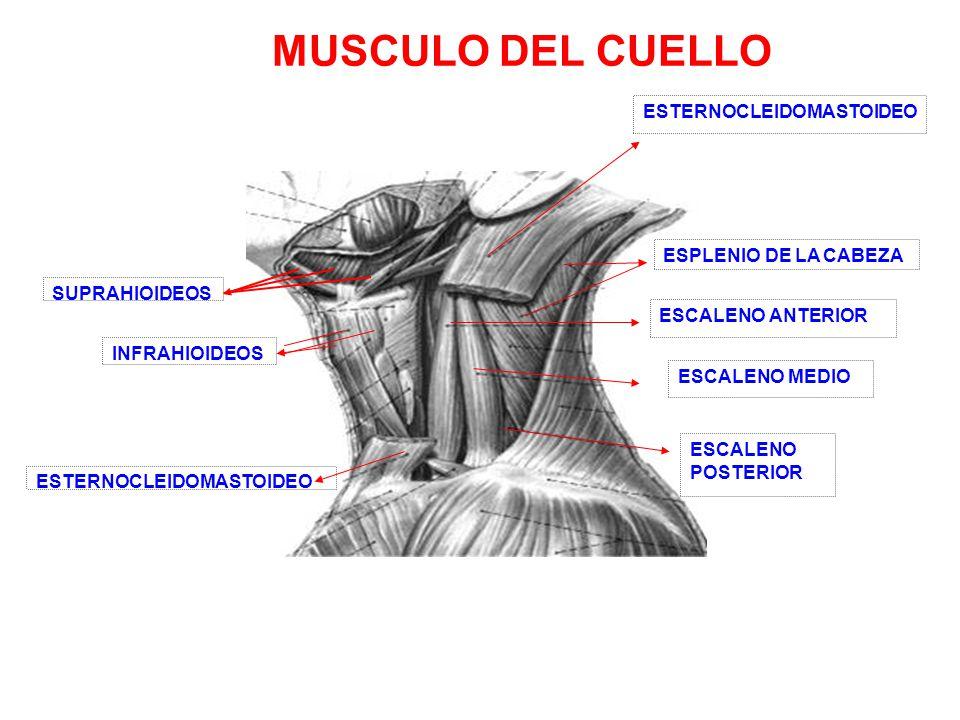 Excelente Músculos Escalenos Anatomía Patrón - Imágenes de Anatomía ...