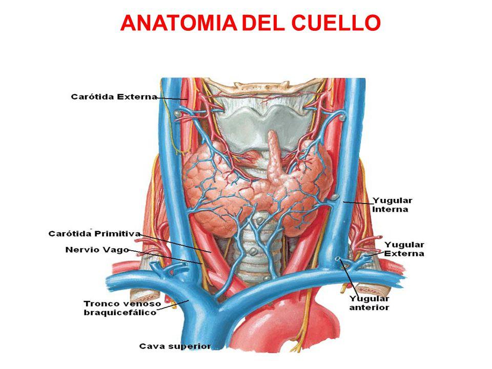 Famoso Anatomía Venosa Del Cuello Patrón - Anatomía de Las ...