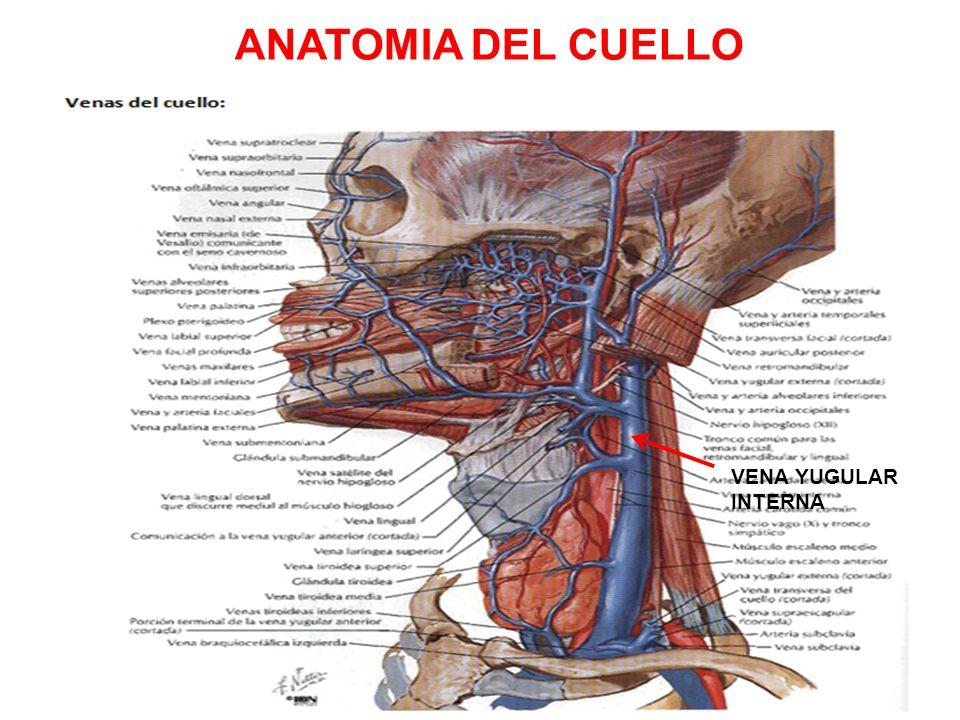 Famoso Anatomía Del Cuello Fotos Festooning - Anatomía de Las ...