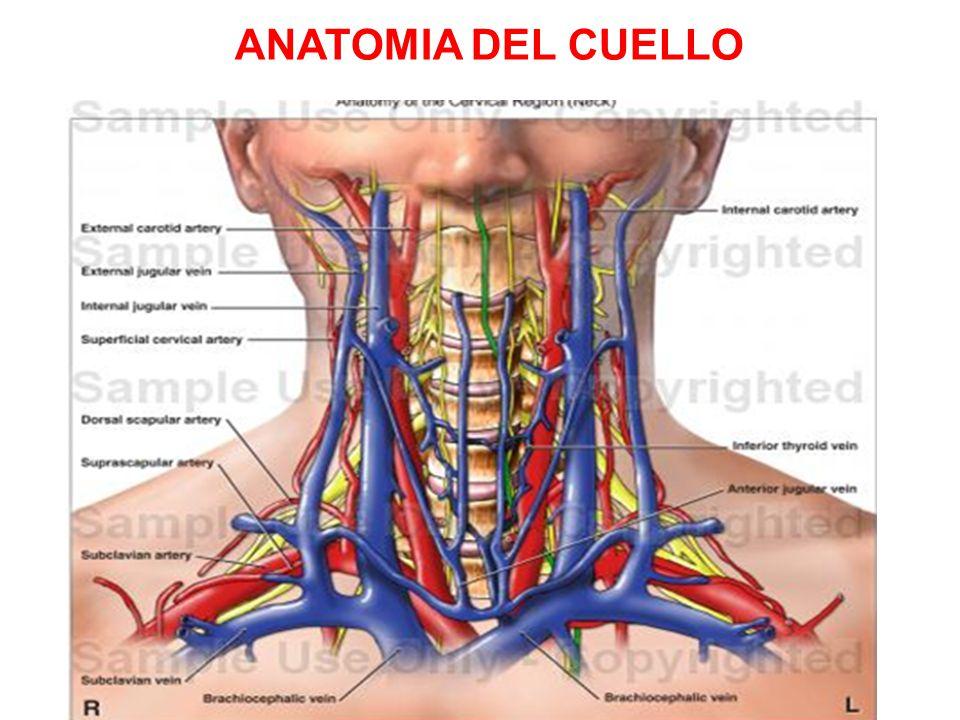 Hermosa Ct Anatomía Del Cuello Ppt Fotos - Imágenes de Anatomía ...