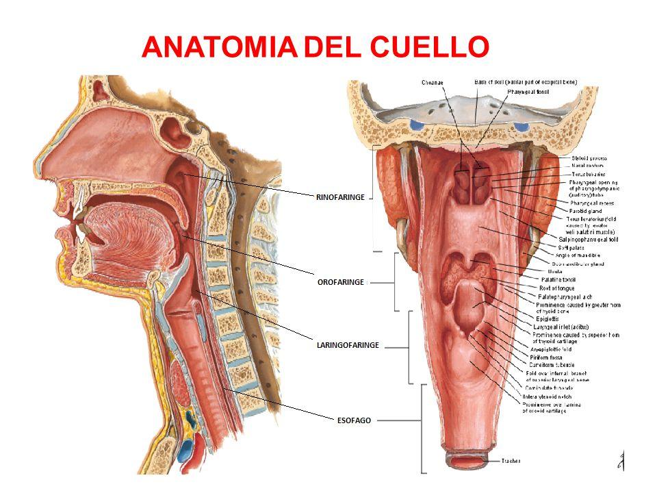 Hermosa Definición Anatomía Del Cuello Uterino Ideas - Anatomía de ...