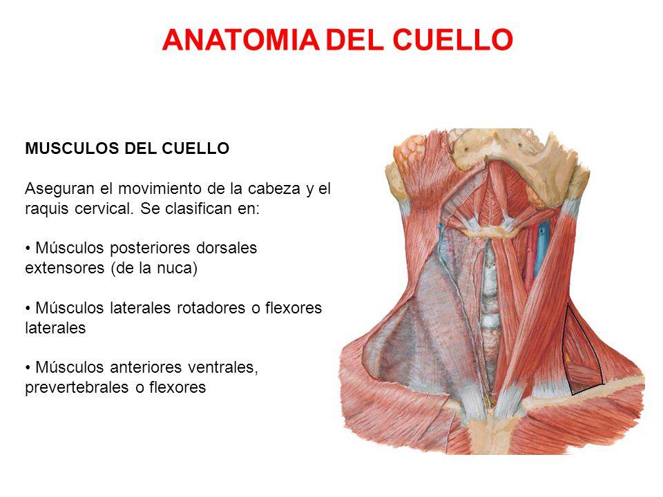 Excepcional Cuello De La Anatomía Humana Cresta - Anatomía de Las ...