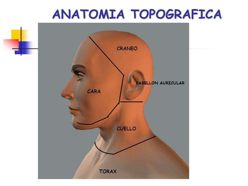 ANATOMIA TOPOGRAFICA CRANEO PABELLON AURICULAR CARA CUELLO TORAX