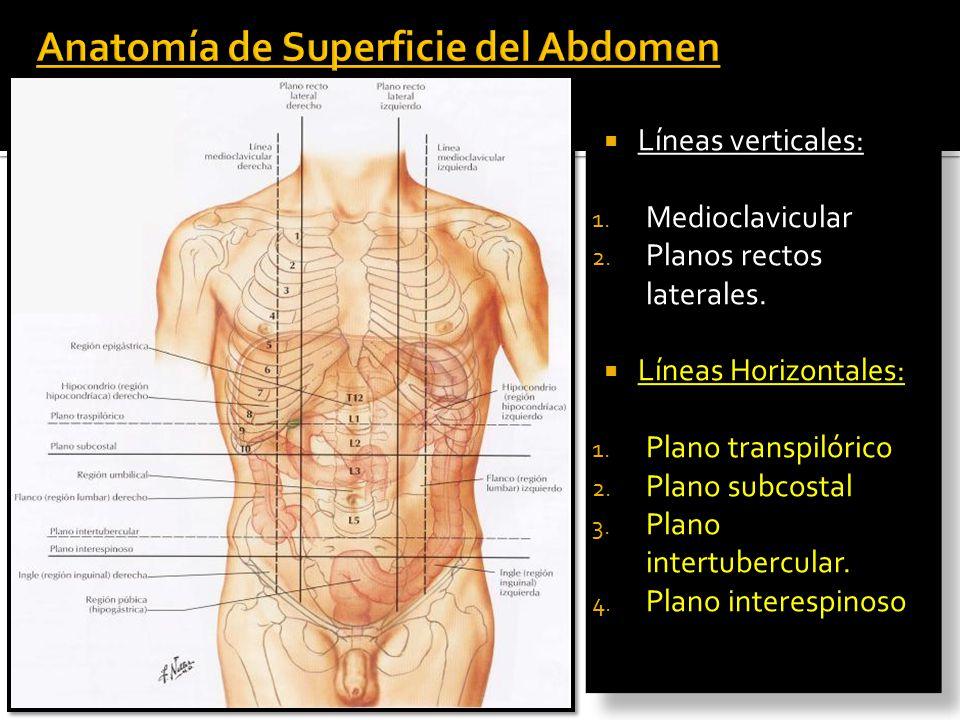 Fantástico Anatomía De Superficie De Abdomen Friso - Anatomía de Las ...