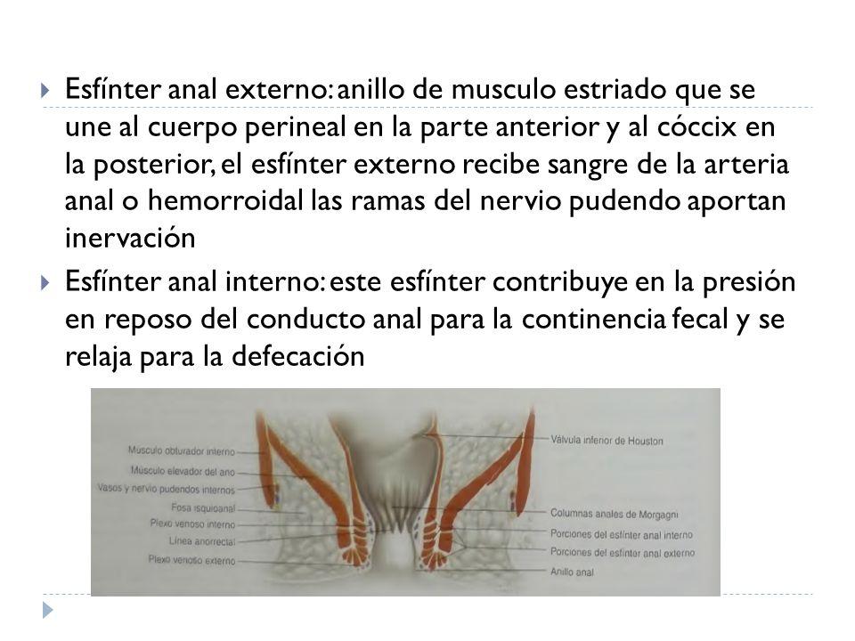 Fantástico Nervio Pudendo Anatomía Femenina Adorno - Imágenes de ...