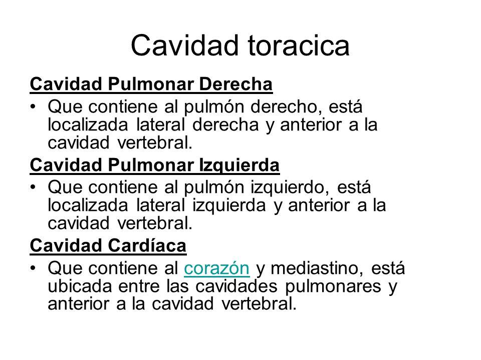 Cavidad toracica Cavidad Pulmonar Derecha