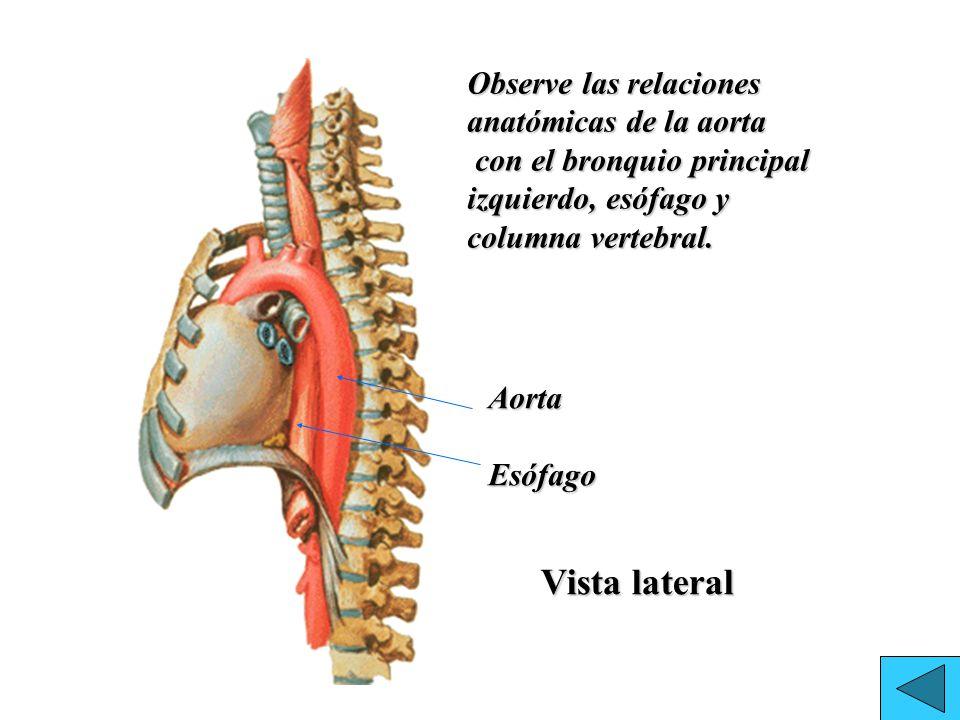 Fantástico Anatomía De La Aorta Inspiración - Imágenes de Anatomía ...