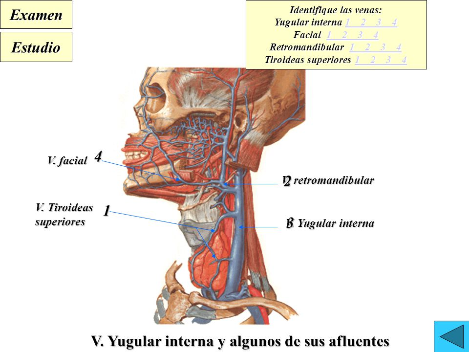 Excelente Anatomía Derecho Vena Yugular Interna Cresta - Imágenes de ...