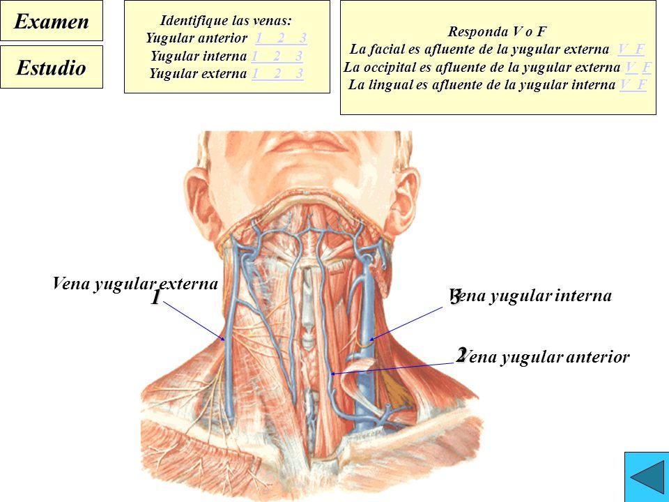 Bonito Anatomía Derecho Vena Yugular Interna Embellecimiento ...