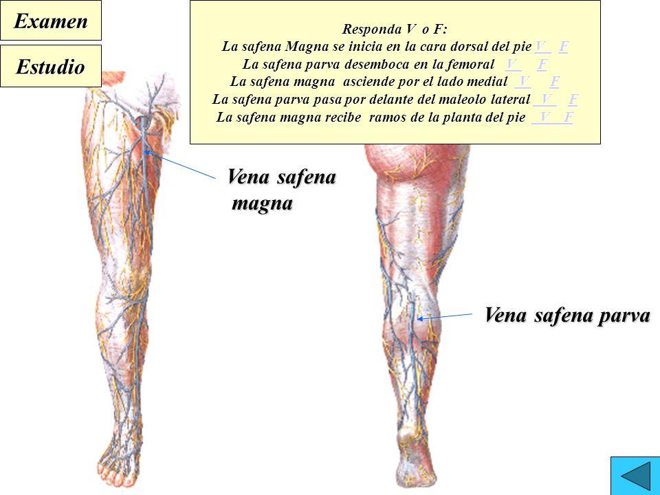 Magnífico La Anatomía De La Vena Safena Larga Ornamento - Anatomía ...