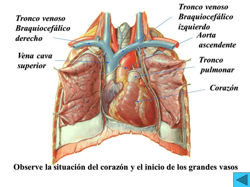 Lujoso Grandes Vasos De La Anatomía Del Corazón Inspiración ...