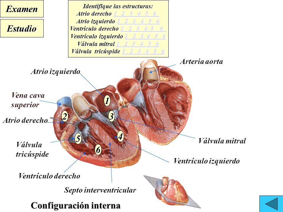 Moderno Atrio Izquierdo Patrón - Anatomía de Las Imágenesdel Cuerpo ...