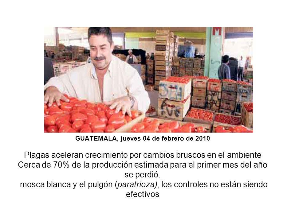 GUATEMALA, jueves 04 de febrero de 2010 Plagas aceleran crecimiento por cambios bruscos en el ambiente Cerca de 70% de la producción estimada para el primer mes del año se perdió.