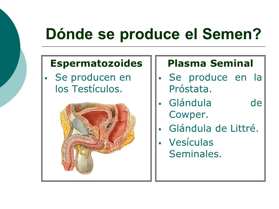Donde y cmo se producen los espermatozoides?