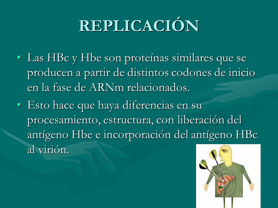 REPLICACIÓN Las HBc y Hbe son proteínas similares que se producen a partir de distintos codones de inicio en la fase de ARNm relacionados.