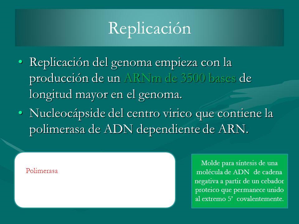 Replicación Replicación del genoma empieza con la producción de un ARNm de 3500 bases de longitud mayor en el genoma.