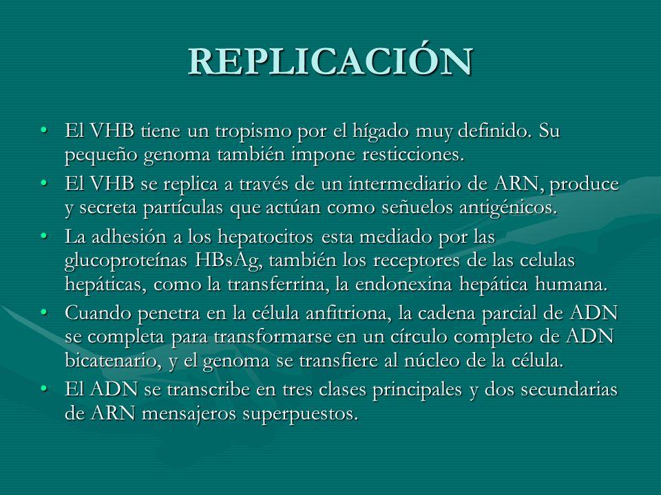REPLICACIÓN El VHB tiene un tropismo por el hígado muy definido. Su pequeño genoma también impone resticciones.