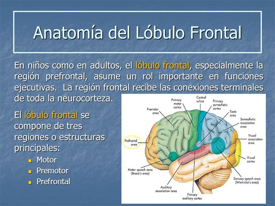Anatomía del Lóbulo Frontal