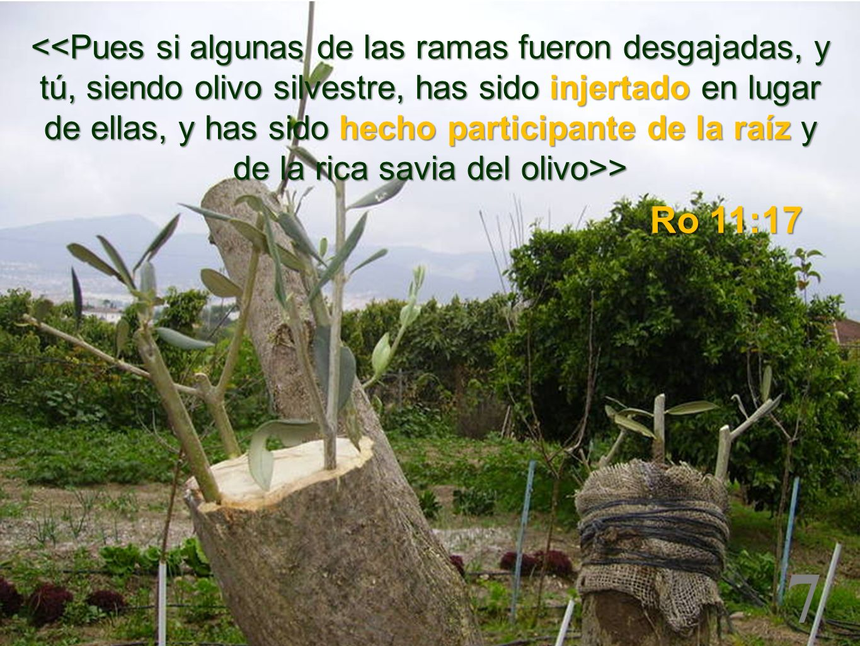 <<Pues si algunas de las ramas fueron desgajadas, y tú, siendo olivo silvestre, has sido injertado en lugar de ellas, y has sido hecho participante de la raíz y de la rica savia del olivo>>