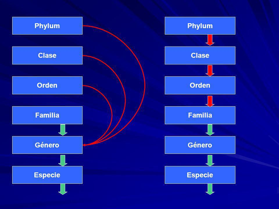 Phylum Phylum Clase Clase Orden Orden Familia Familia Género Género Especie Especie