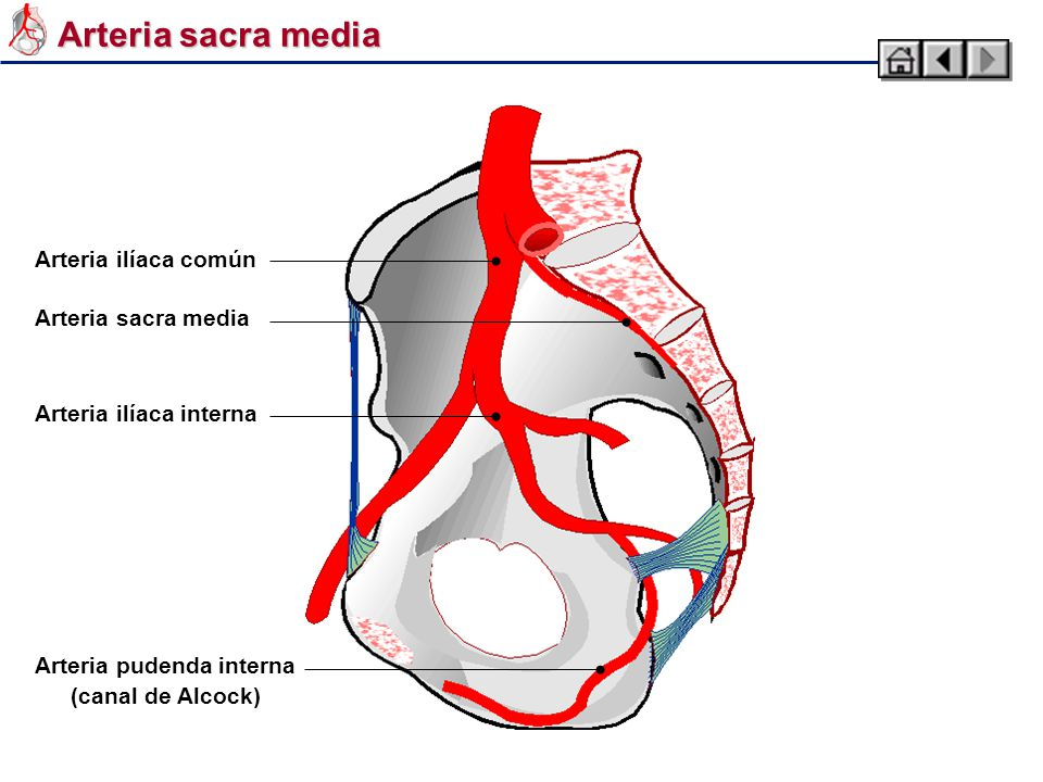 Wunderbar A. Iliaca Externa Anatomie Ideen - Anatomie Von ...
