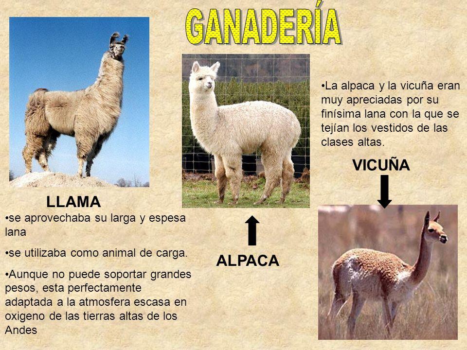 GANADERÍA VICUÑA LLAMA ALPACA