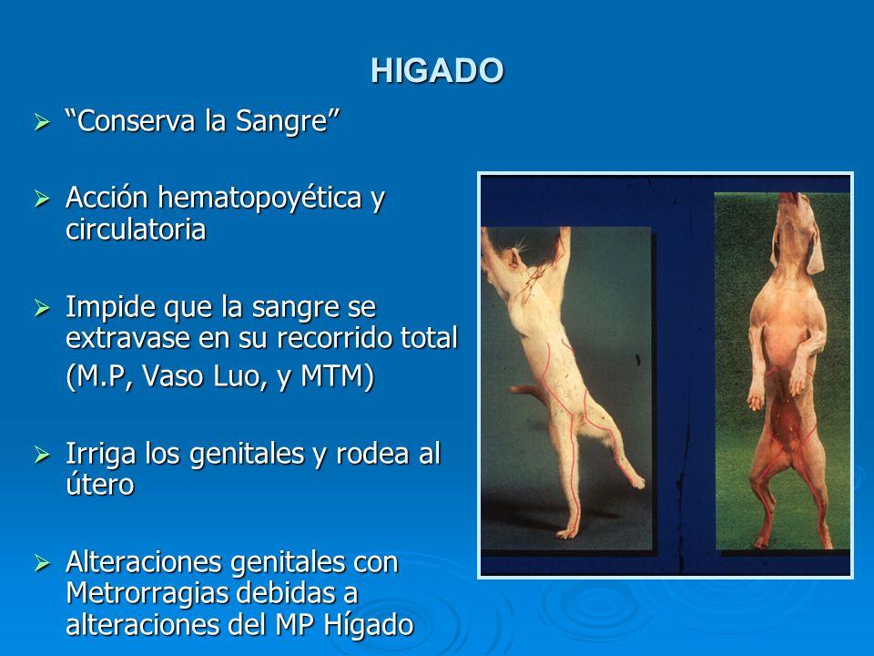 HIGADO Conserva la Sangre Acción hematopoyética y circulatoria