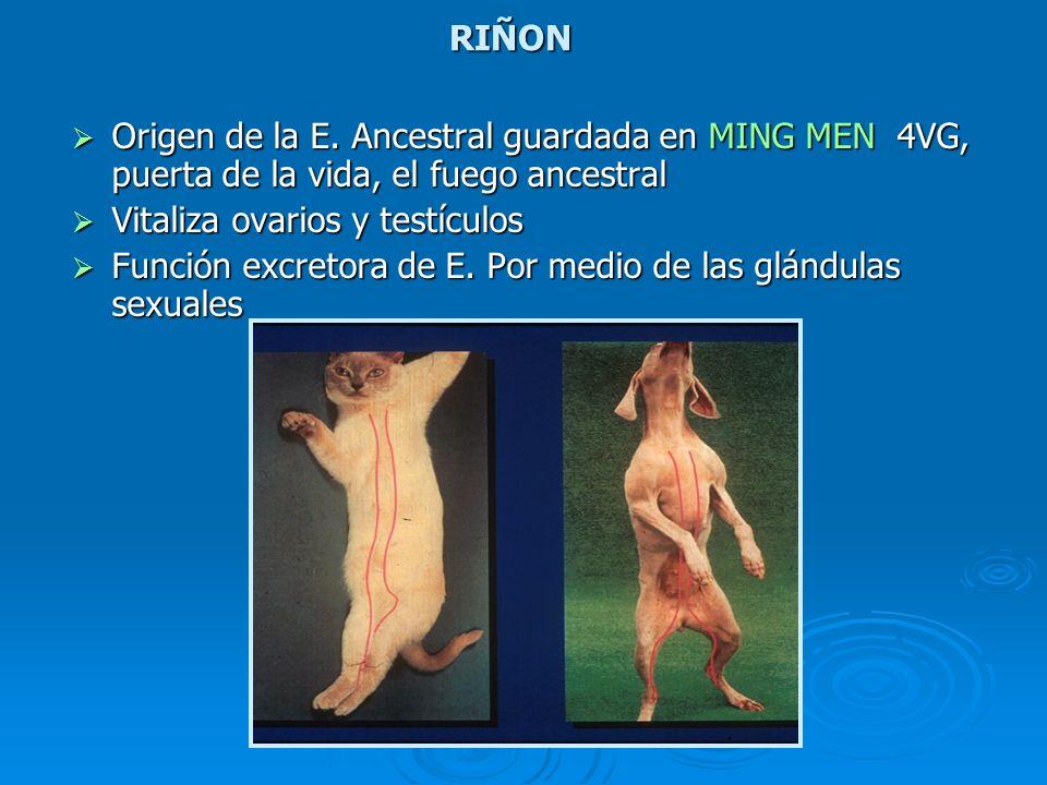 RIÑON Origen de la E. Ancestral guardada en MING MEN 4VG, puerta de la vida, el fuego ancestral. Vitaliza ovarios y testículos.