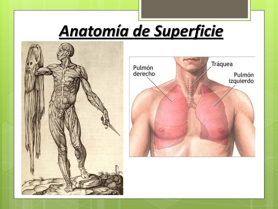 Vistoso Definir Anatomía De Superficie Imagen - Anatomía de Las ...