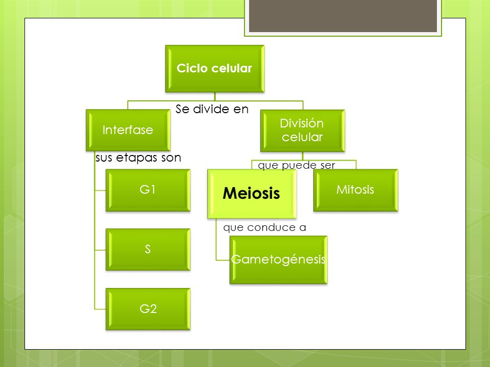 Meiosis Se divide en sus etapas son que puede ser que conduce a