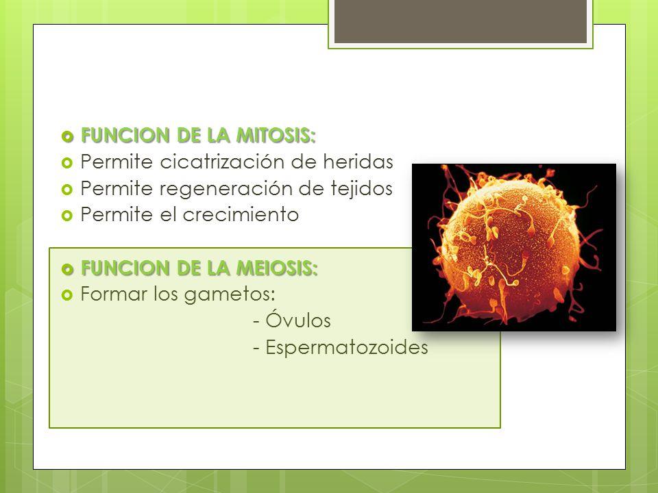 FUNCION DE LA MITOSIS: Permite cicatrización de heridas. Permite regeneración de tejidos. Permite el crecimiento.