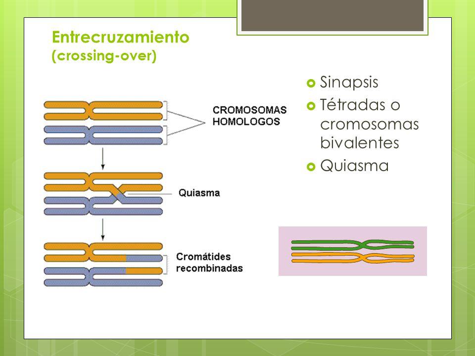 Entrecruzamiento (crossing-over)
