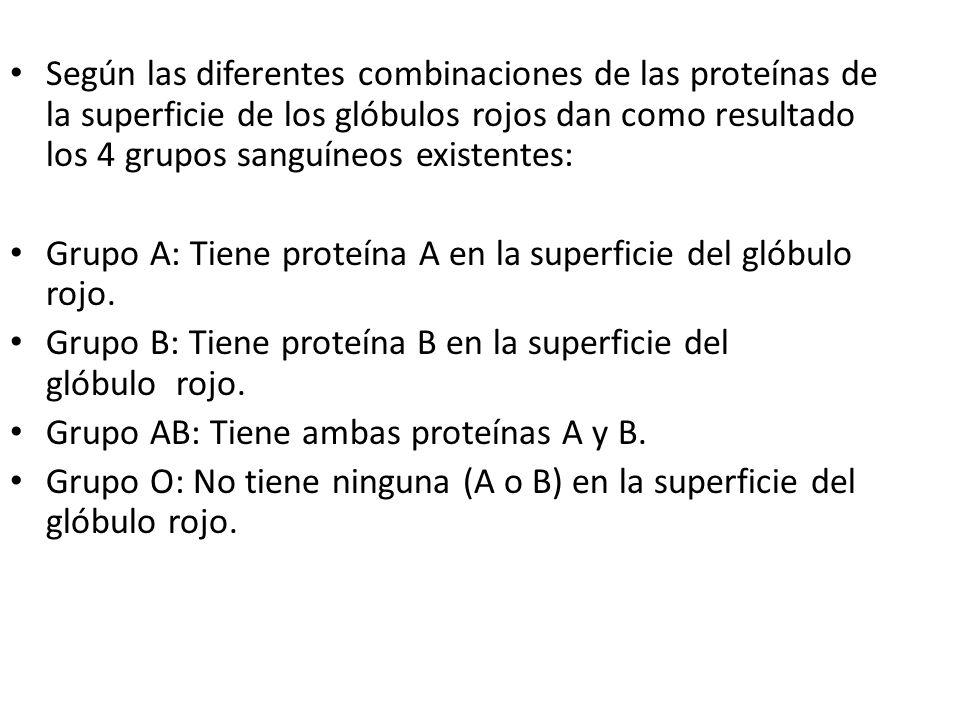 Según las diferentes combinaciones de las proteínas de la superficie de los glóbulos rojos dan como resultado los 4 grupos sanguíneos existentes: