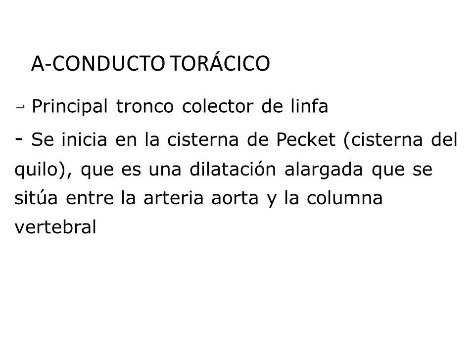 A-CONDUCTO TORÁCICO - Principal tronco colector de linfa