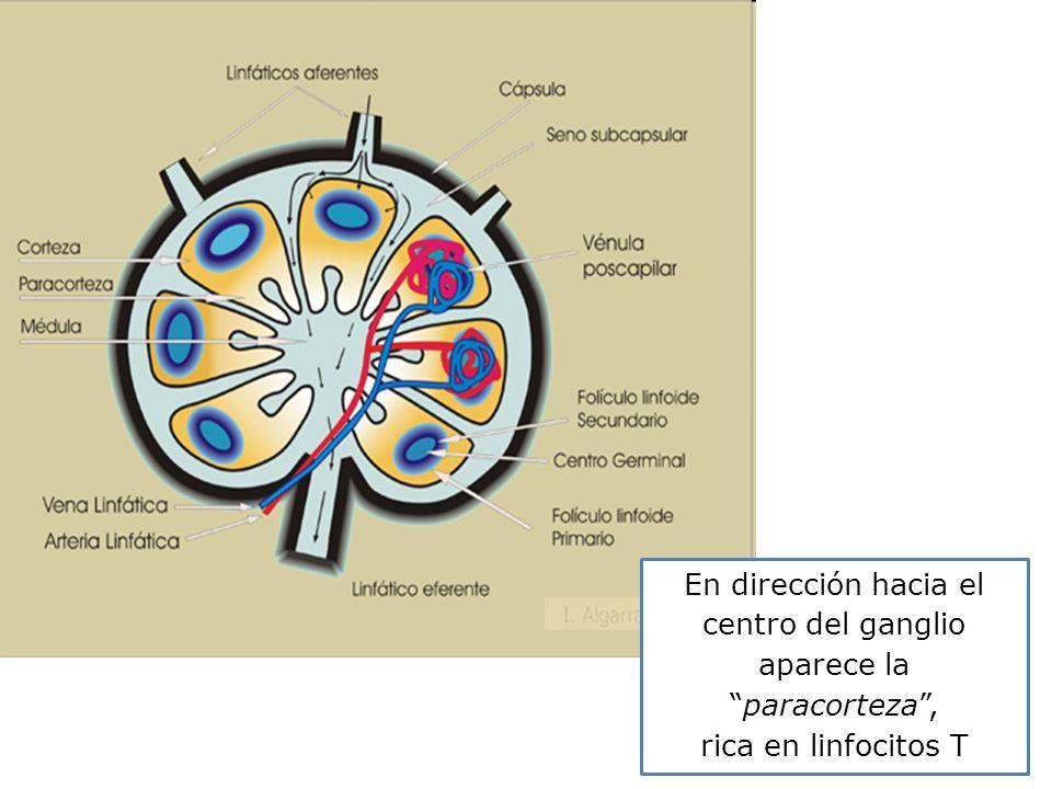 En dirección hacia el centro del ganglio aparece la paracorteza ,