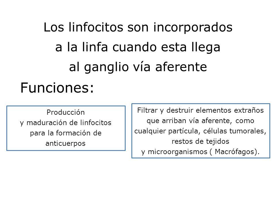 Funciones: Los linfocitos son incorporados