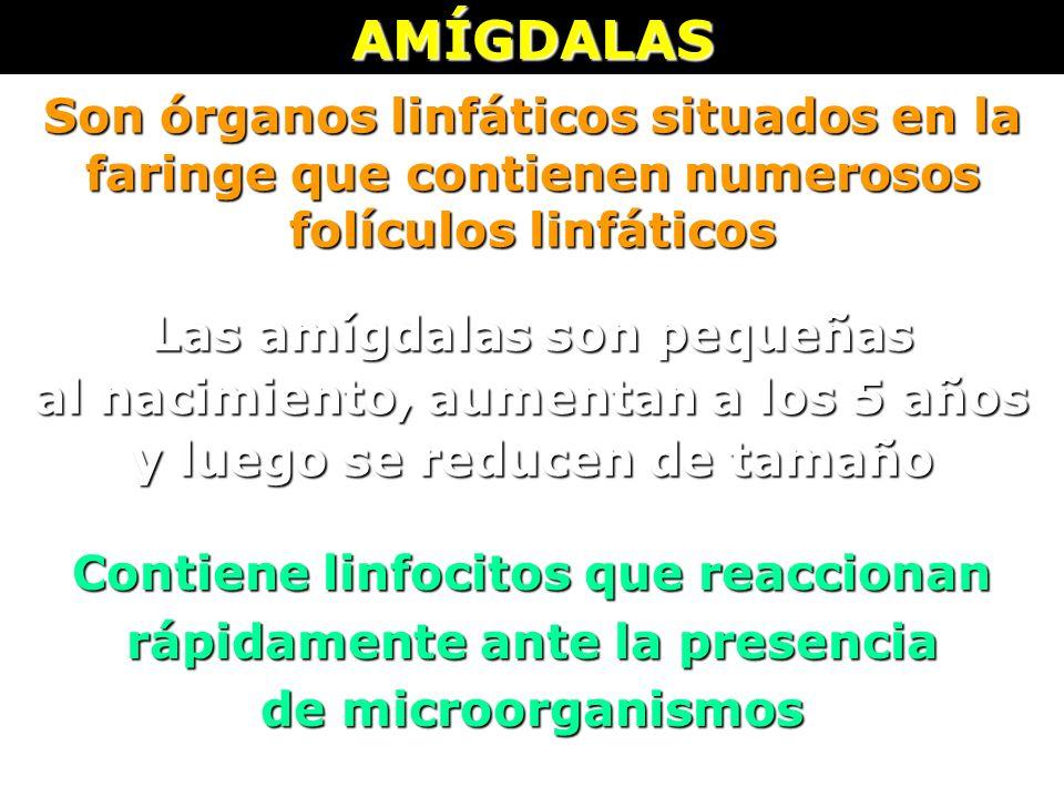 AMÍGDALAS Son órganos linfáticos situados en la faringe que contienen numerosos folículos linfáticos.