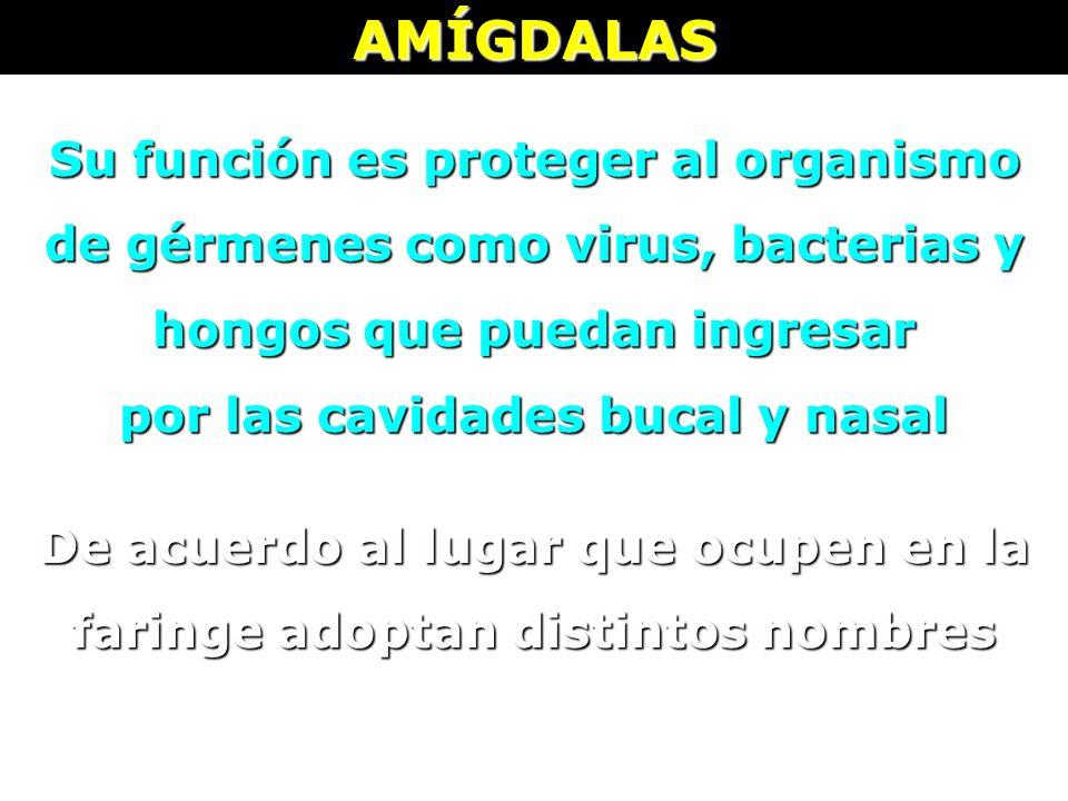 AMÍGDALAS Su función es proteger al organismo de gérmenes como virus, bacterias y hongos que puedan ingresar.