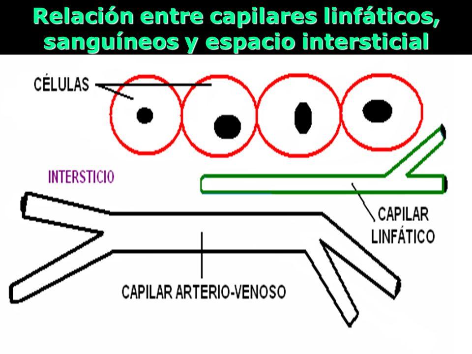 Relación entre capilares linfáticos, sanguíneos y espacio intersticial