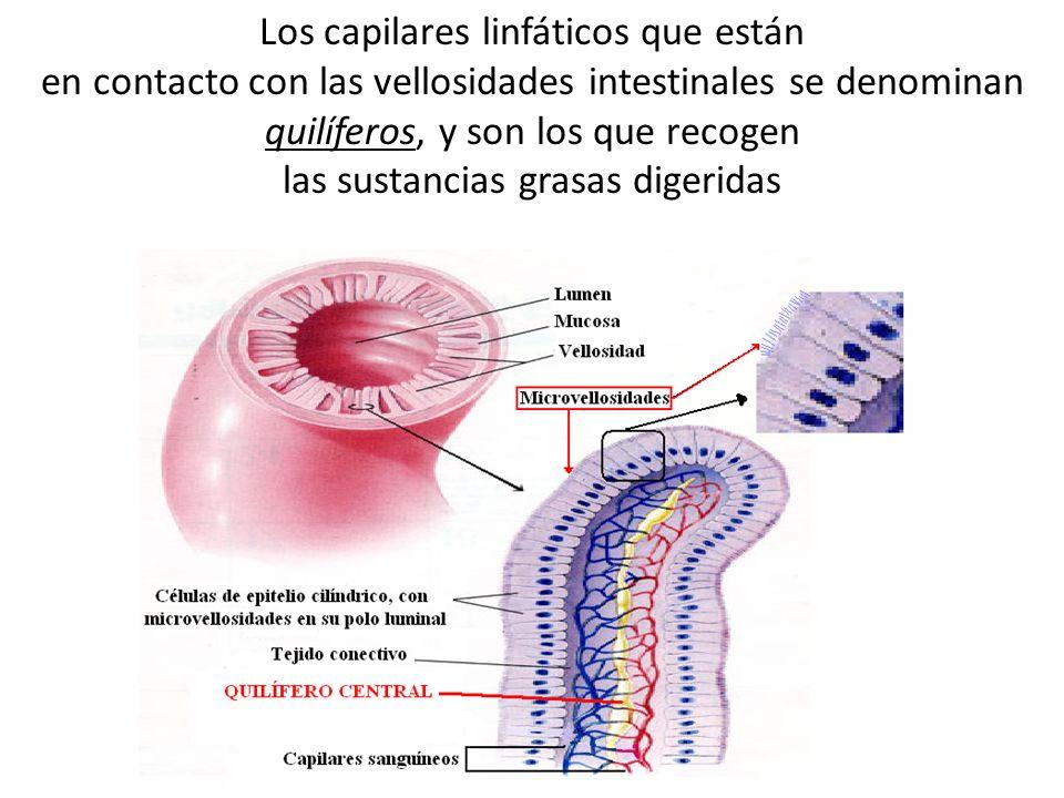 Los capilares linfáticos que están