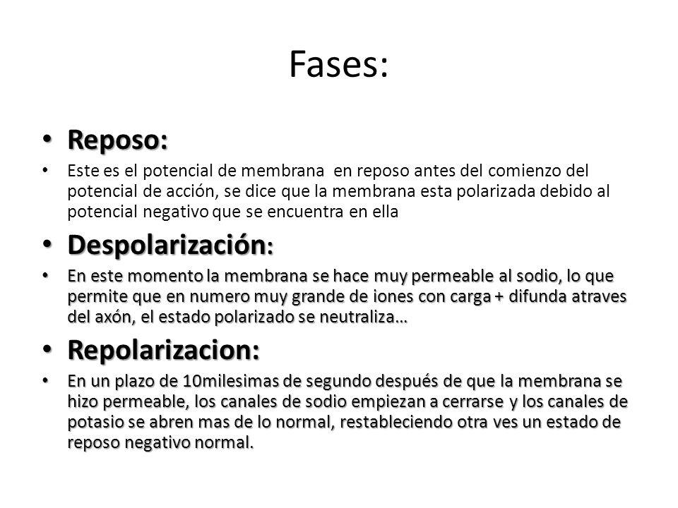 Fases: Reposo: Despolarización: Repolarizacion: