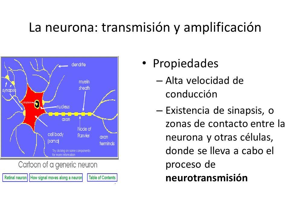 La neurona: transmisión y amplificación