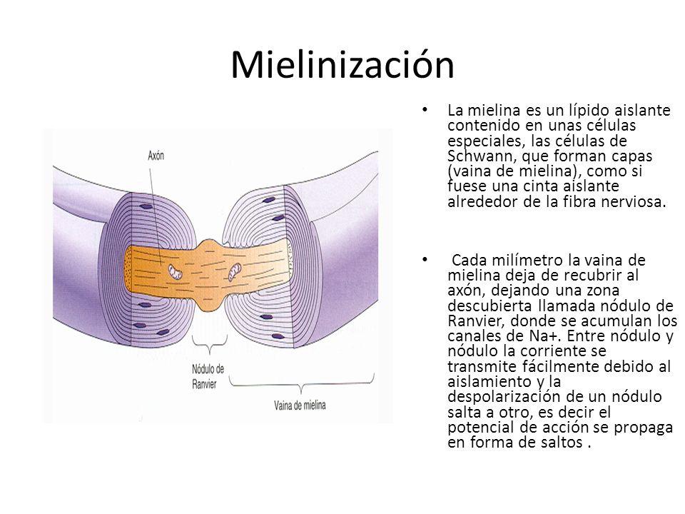 Mielinización