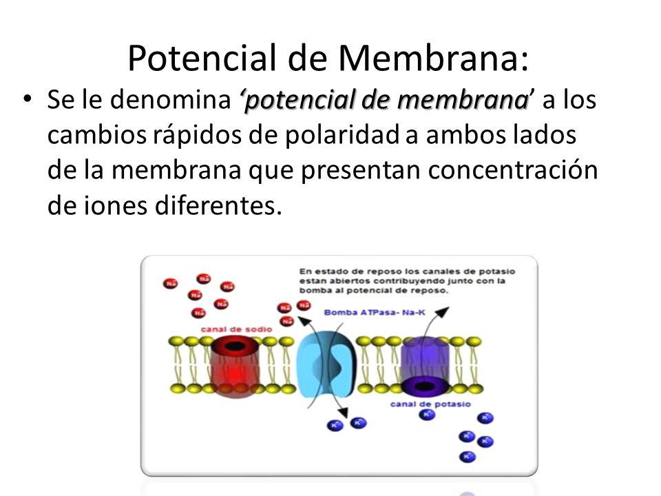 Potencial de Membrana: