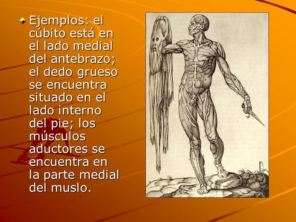 Ejemplos: el cúbito está en el lado medial del antebrazo; el dedo grueso se encuentra situado en el lado interno del pie; los músculos aductores se encuentra en la parte medial del muslo.