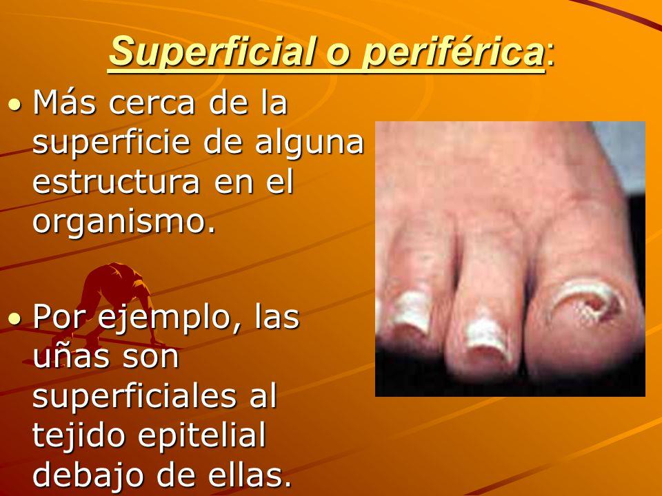 Superficial o periférica: